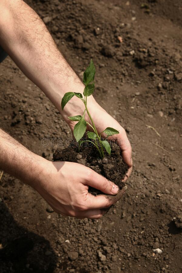 Hands of a man planting a young organic plant of pepper in the ground. Planting pepper seedlings stock photo