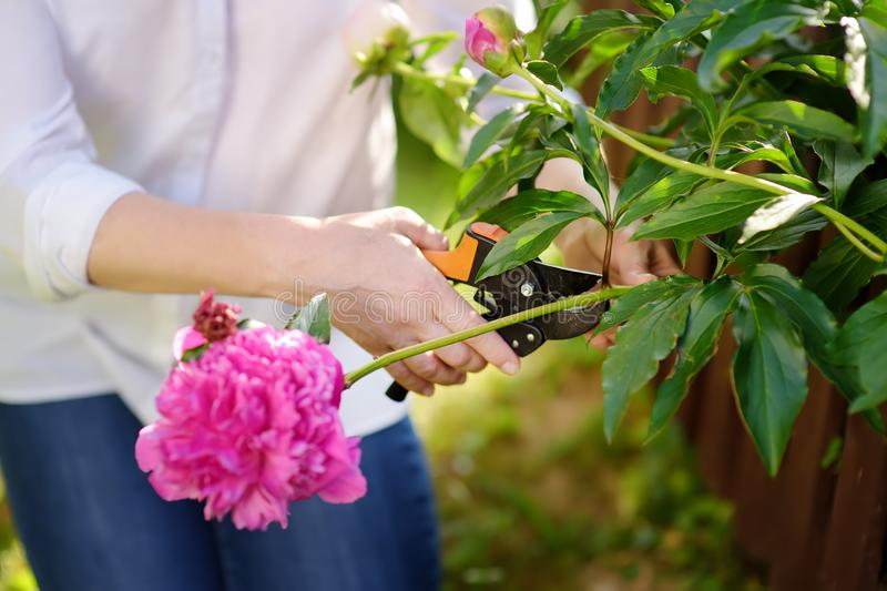 Hands of middle age female gardener. Woman working with secateur in domestic garden at summer day stock photography