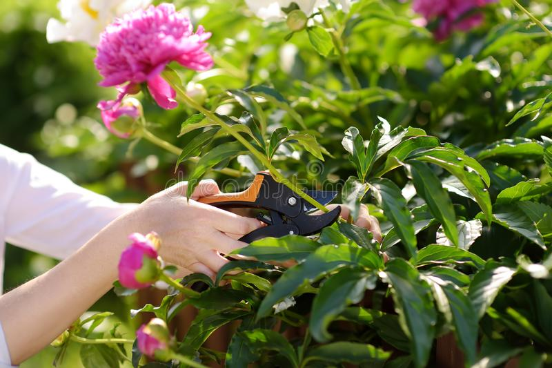 Hands of middle age female gardener. Woman working with secateur in domestic garden at summer day stock images
