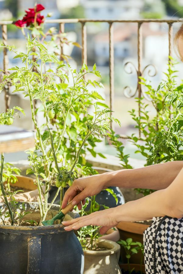 Free Hands Of A Girl Engaged In A Flower Garden On A Sunny Balcony. Vegetables Grown On The Balcony. In The Background There Is A Blurr Royalty Free Stock Photos - 129809858