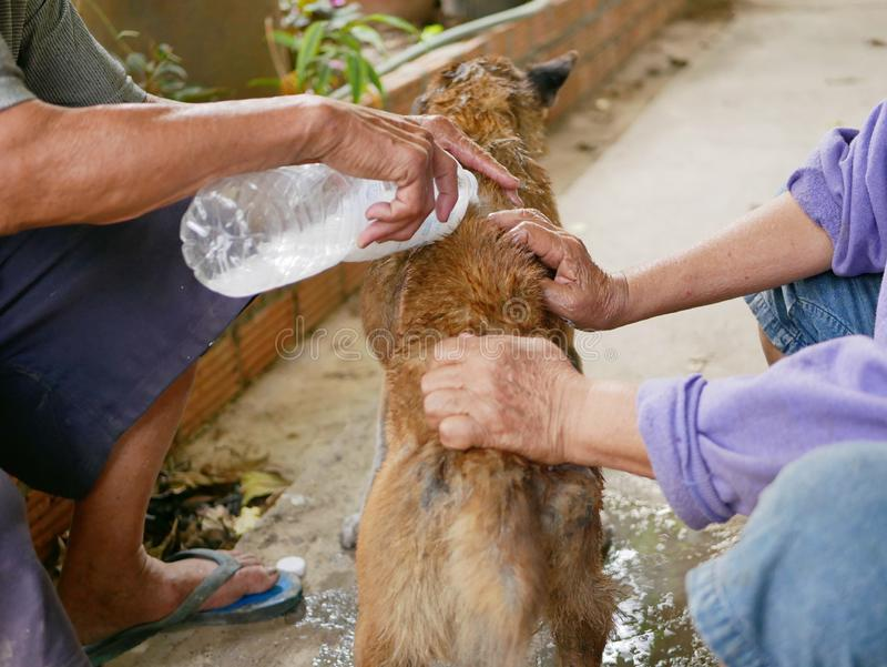 Hands of an old couple securing and pouring tick and flea control product on to a skinny dirty street dog stock photos