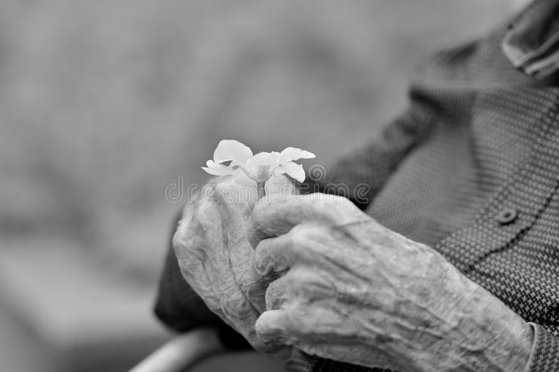 Hands of an old gentleman holding a flower. royalty free stock images