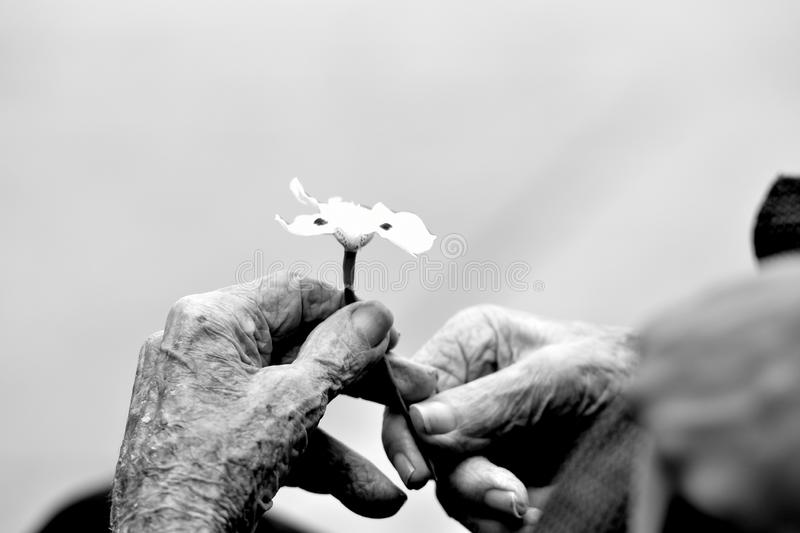 Hands of an old gentleman holding a flower royalty free stock photo