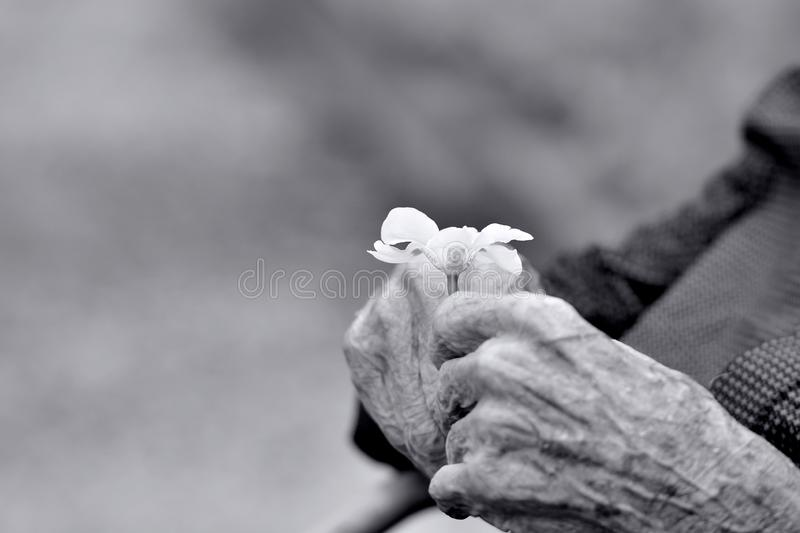 Hands of an old gentleman holding a flower stock image