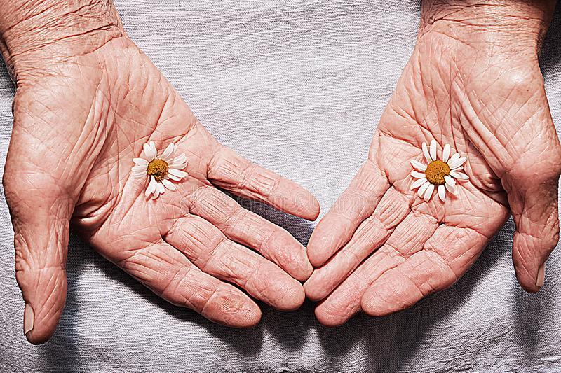 Hands of an old woman holding daisy flowers. The concept of longevity. Seniors day. royalty free stock images