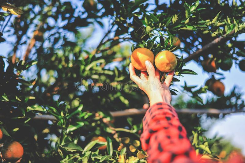 Hands and oranges of the orange farmers are harvesting. Oranges royalty free stock photos