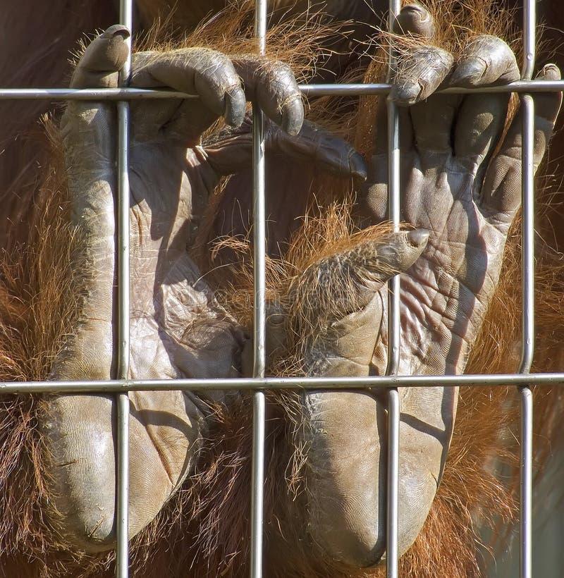 hands orangutanen royaltyfria bilder
