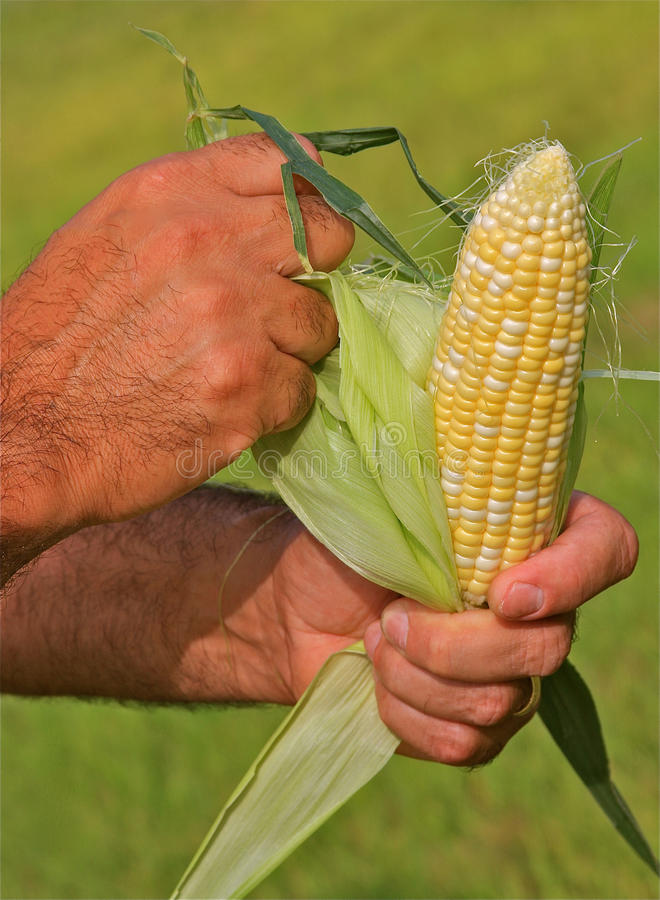 Hands Peeling Corn. Close up of a man's hands peeling a cob of freshly picked sweet corn royalty free stock photos