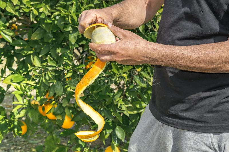 Hands of person peeling with knife a fresh juicy fruit from orange tree in garden. Concept of healthy life style, eating organic royalty free stock image