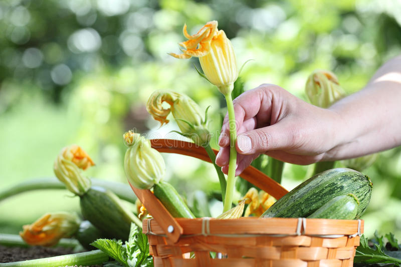 Hands picking zucchini flowers with basket in vegetable garden, stock images