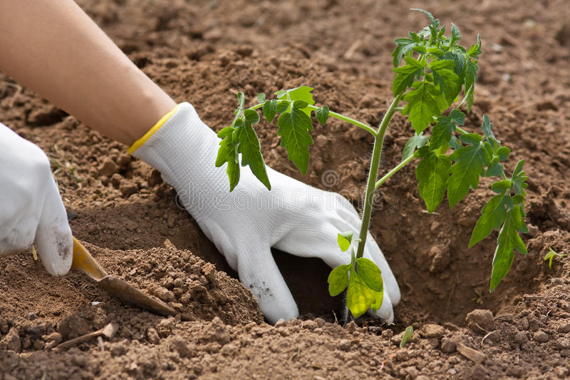 Hands planting seedling of tomato in the vegetable garden stock photography