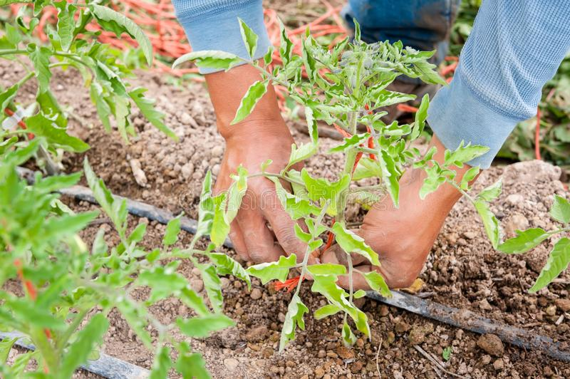 Hands planting a tomato plant in a garden. A worker plants tomato plants in neat rows in the garden and adds trellis supports in preparation for when they grow royalty free stock photos