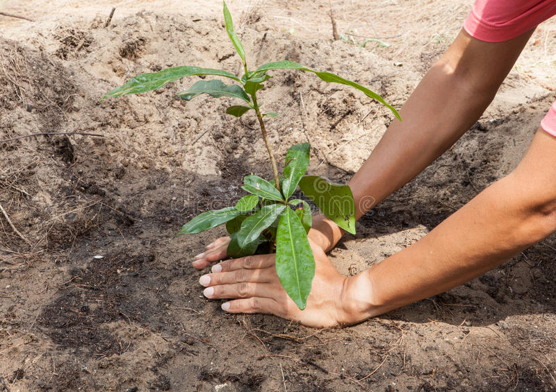 Hands planting a tree royalty free stock images