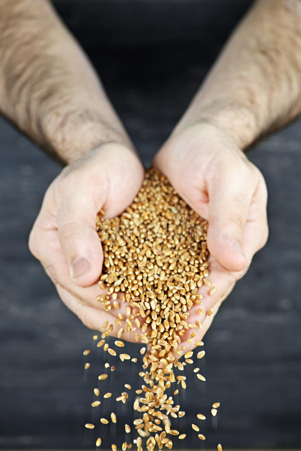 Hands pouring grain royalty free stock photography