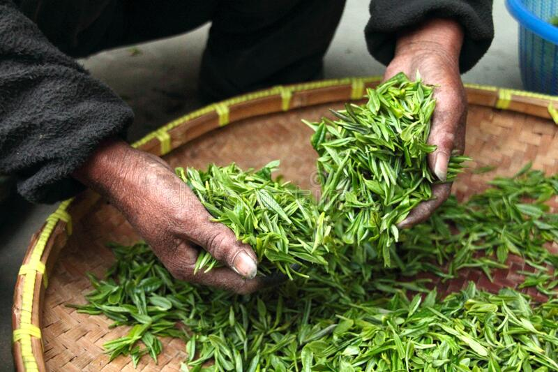 Hands Processing Tea Leaves Free Public Domain Cc0 Image