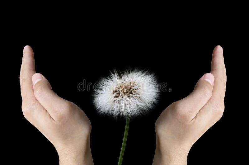 Hands protecting dandelion stock photos