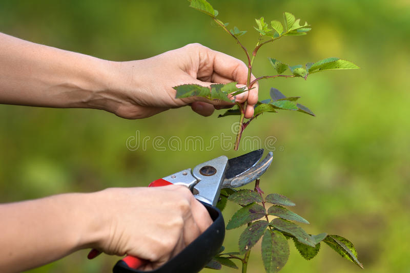 Hands pruning garden rose branch with secateurs royalty free stock photo