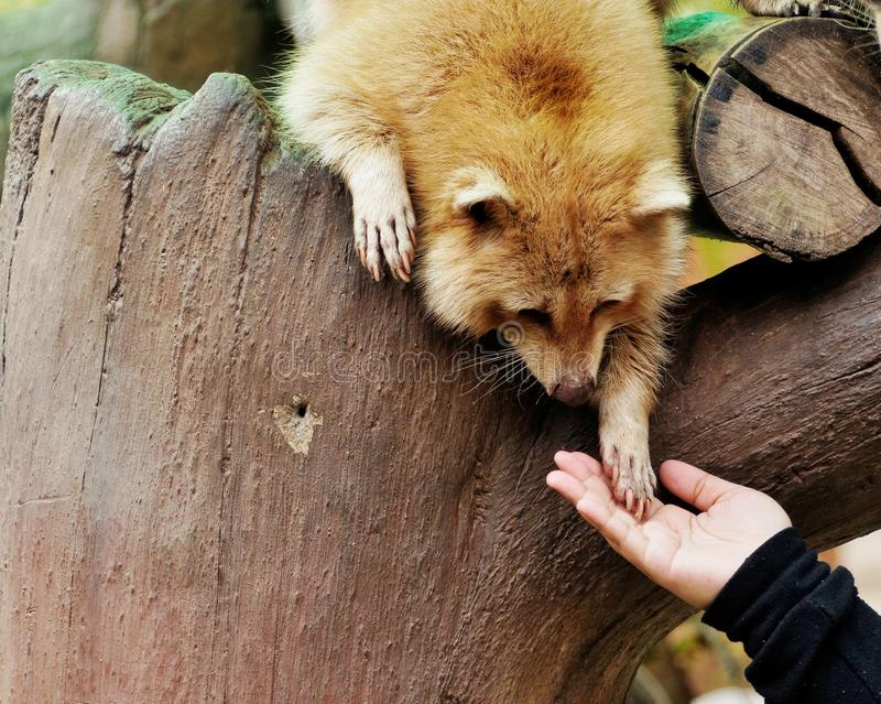 Hands of a raccoon and human royalty free stock photos