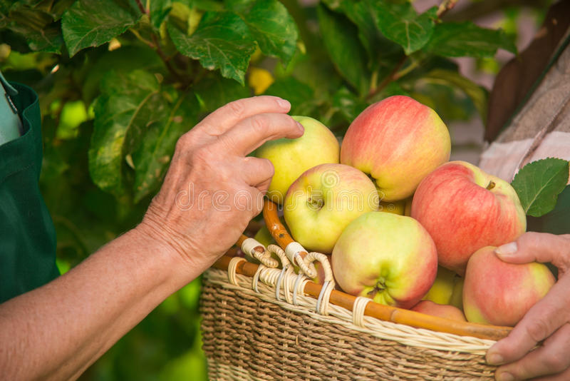 Hands of seniors and apples. Wicker basket with fruit. Touch the freshness stock photography