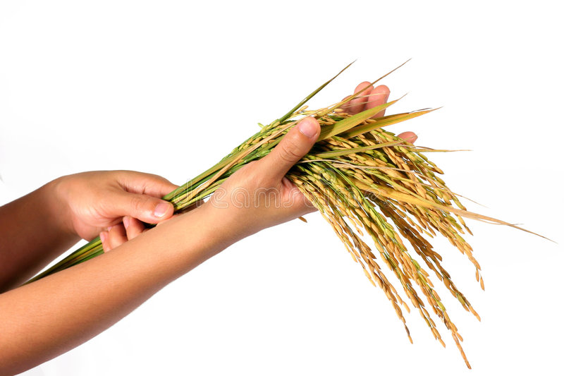 Hands and a sheaf of rice. Hand are holding a sheaf of rice plants. concept for crop setting royalty free stock photography
