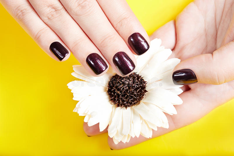 Hands with short manicured nails colored with purple nail polish. Hands with short manicured nails colored with dark purple nail polish holding a flower stock photos