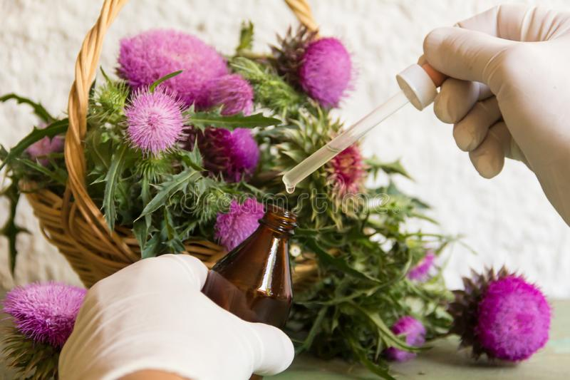 Hands with thistle essential oils for alternative medicinal use stock image
