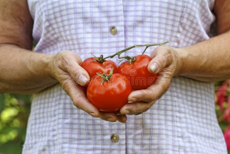 hands tomaten arkivbild