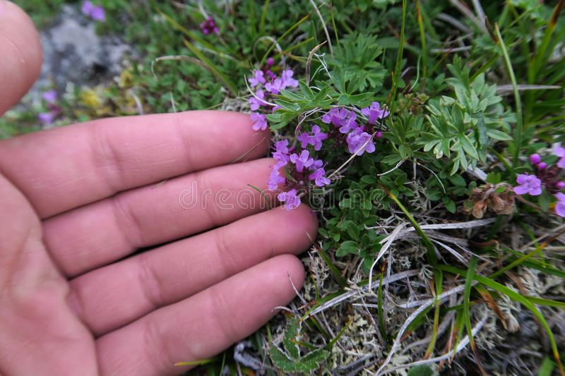 Hands touching thyme gently. Wild mountain herbs royalty free stock images