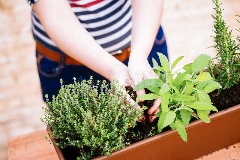 Hands transplanting sage on a pot stock photos