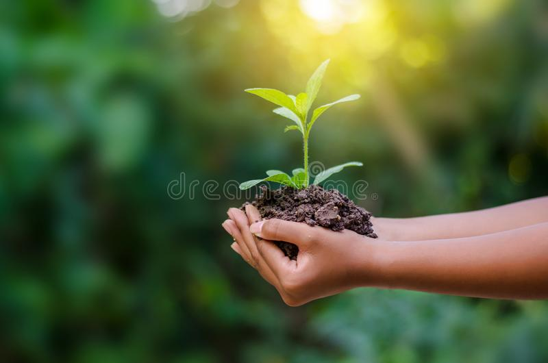 In the hands of trees growing seedlings. Bokeh green Background Female hand holding tree on nature field grass Forest conservation royalty free stock photo
