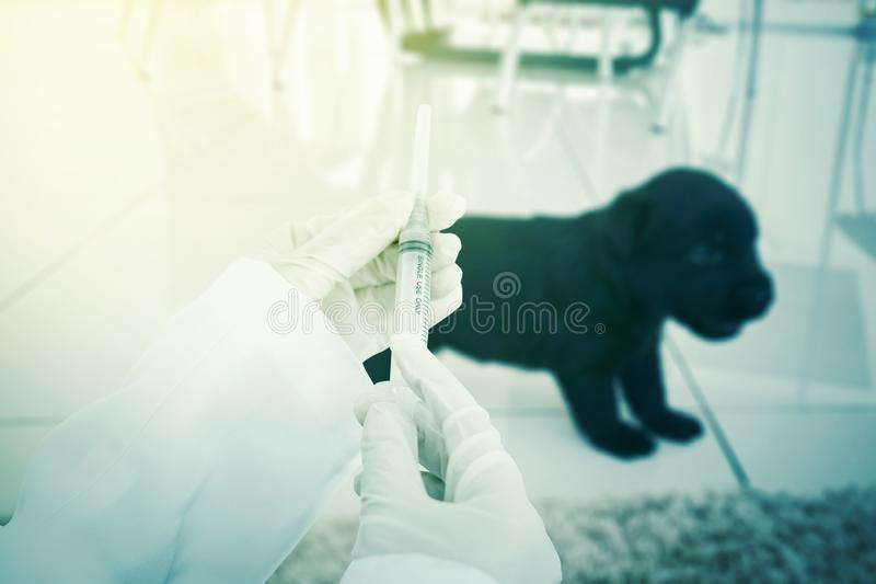 Hands of veterinarian give a vaccine  to a puppy dog royalty free stock image