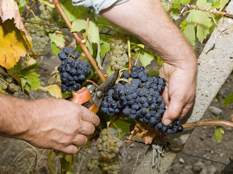 Hands of vintner by the work royalty free stock photography