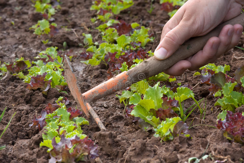 Hands weeding of lettuce. In the vegetable garden stock images