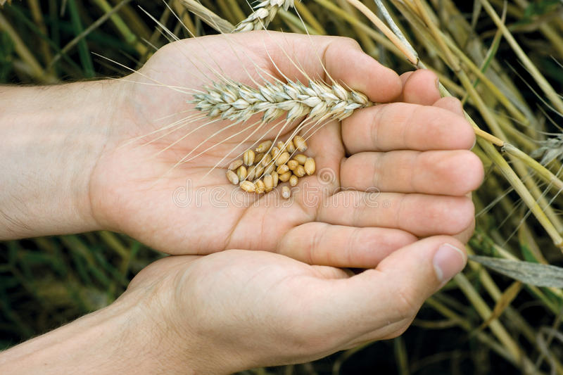 Hands with wheat grains. Man hands with wheat grains and spica royalty free stock images