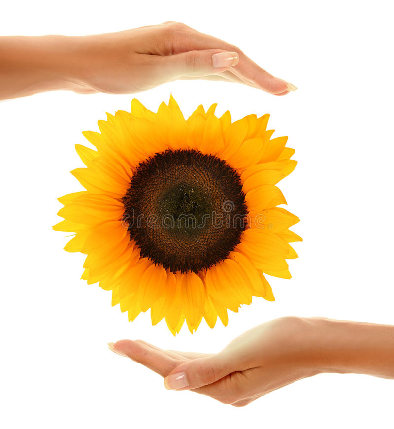 Free Hands With Sunflower 2 Royalty Free Stock Photos - 16147998