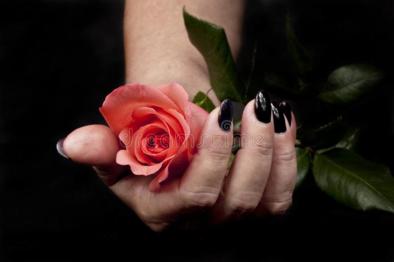 Giving a flower just for you. Hands of woman offering a beautiful rose just for you stock photo