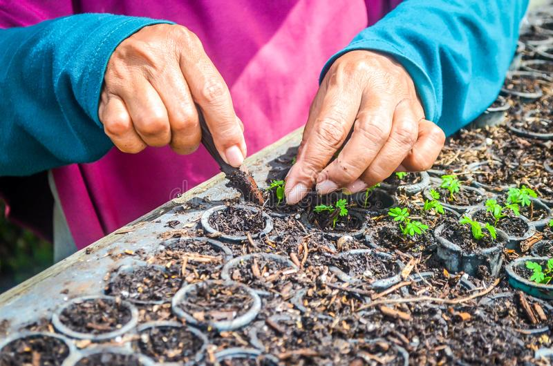 Hands of worker planting the seeds of fast growing species at the nursery of forestry company. Industrial and environmental background royalty free stock photos