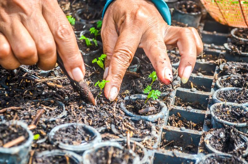 Hands of worker planting the seeds of fast growing species at the nursery of forestry company. Industrial and environmental background stock images