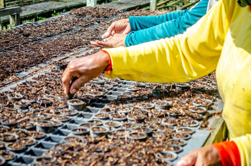 Hands of worker planting the seeds of fast growing species at the nursery of forestry company. Agriculture and environment concept royalty free stock images