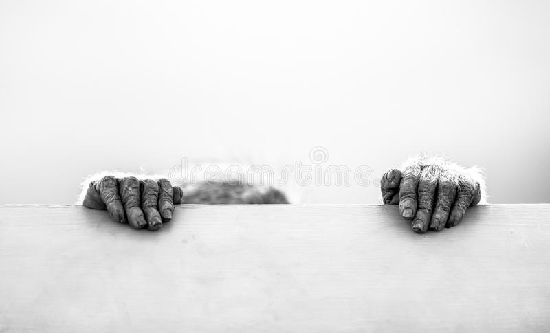 Hands. Of a young baboon holding onto a bridge rail royalty free stock photos