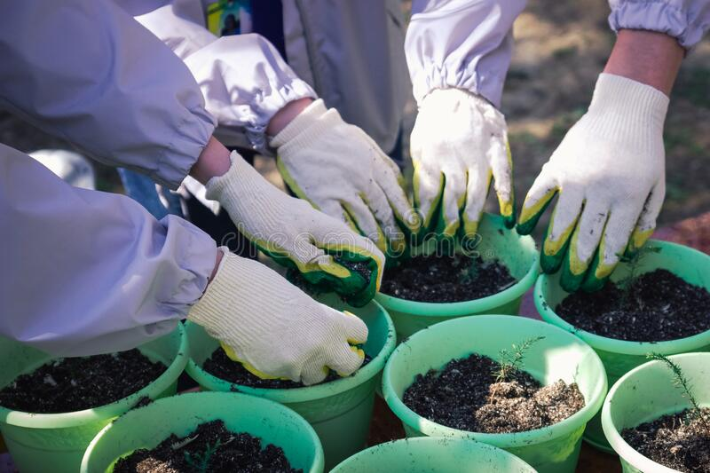 Hands of young people in garden gloves fill the garden pots. With earth stock image
