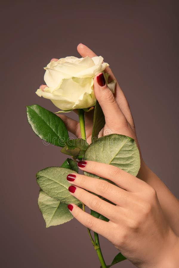 Hands of young woman with beautiful manicure holding rose on color background stock images