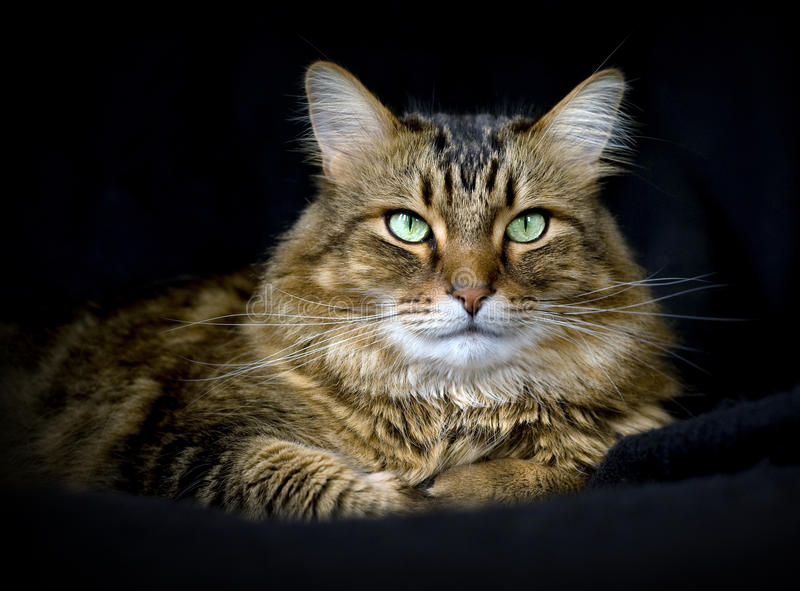Handsome adult maine coon cat on black background stock images