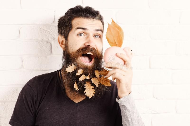 Handsome bearded man with stylish mustache and autumn yellow leaves in long beard on smiling face with pink piggy pig. Bank on white brick wall background stock image