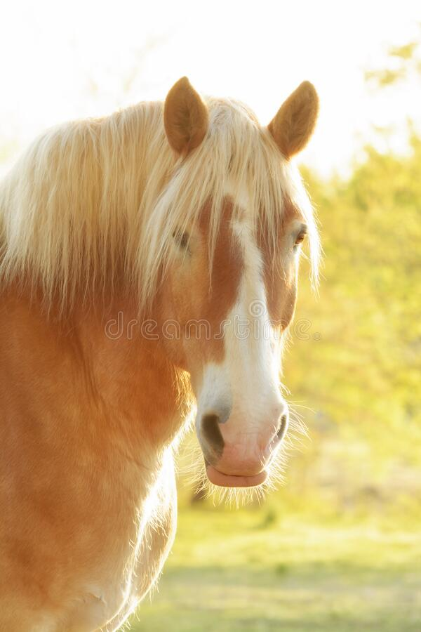 Free Handsome Belgian Draft Horse Looking At The Viewer, Side Lit By Early Morning Sun Stock Photography - 219321962