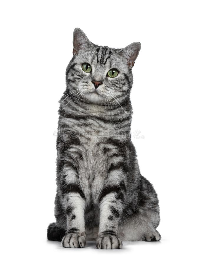 Handsome black silver tabby British Shorthair cat sitting straight up isolated on white background and looking at camera. Black silver tabby British Shorthair stock photos