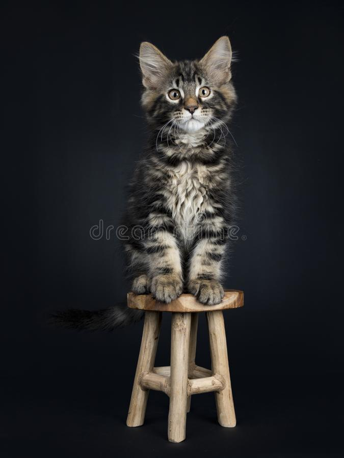 Handsome black tabby Maine Coon cat. / kitten sitting on wooden stool isolated on black background stock photos