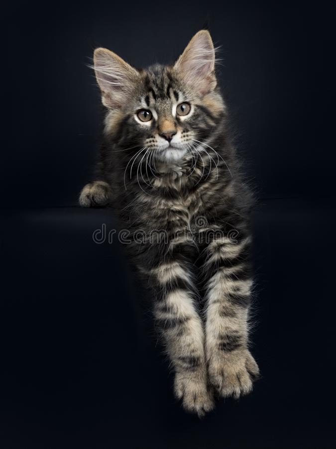 Handsome black tabby Maine Coon cat on black. Handsome black tabby Maine Coon cat / kitten laying with paws haging over edge isolated on black background stock photography
