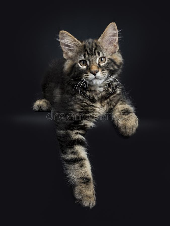 Handsome black tabby Maine Coon cat. / kitten laying with paws haging over edge isolated on black background n stock images