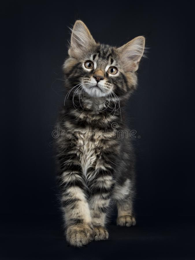 Handsome black tabby Maine Coon cat. / kitten standing / walking towards camera isolated on black background royalty free stock photo